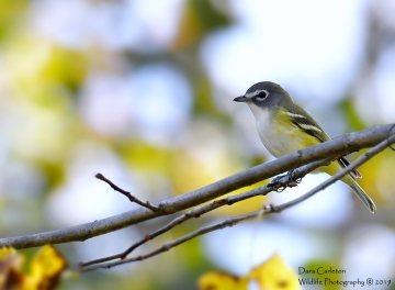 MALE BLUE HEADED VIREO WEST RIV TRL 9.29.19 4