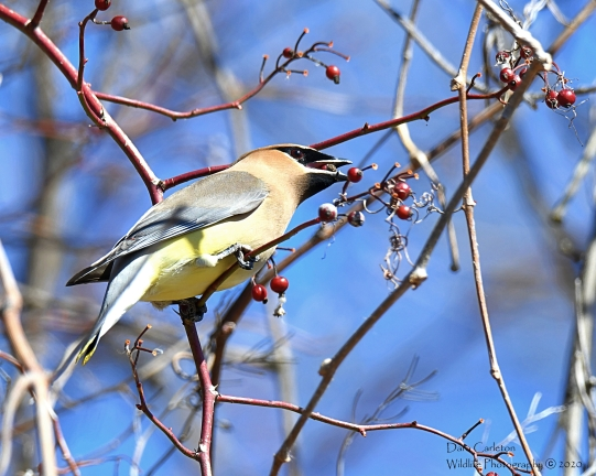 MEADOWS WAXWING 3.2020 2