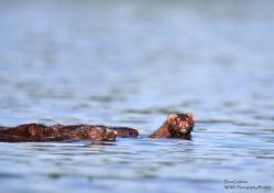 Mink cubs, Hinsdale, NH