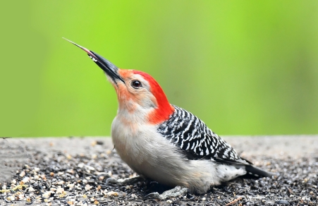 Red-bellied woodpecker, Brookline VT