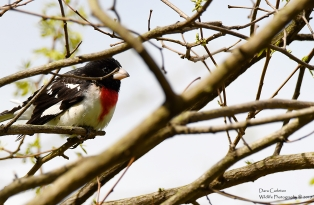 ROSE BREATSED GROSBEAK HINSDALE MAY 2019 1