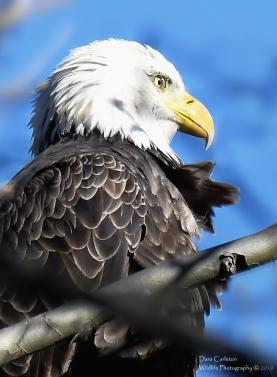 Newfane. VT Adult bald eagle