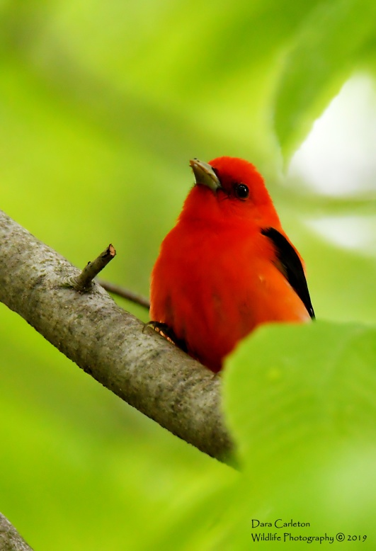 SCARLET TANAGER OLD FERRY MAY 2019 1