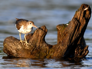 Spotted sandpiper, West Chesterfield NH