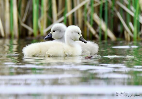 SWAN BABIES HINS 5.17.20 1