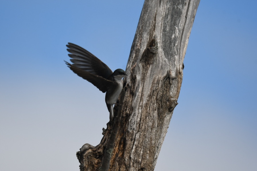 TREE SWALLOW WSTMNSTR 5.16.20 1