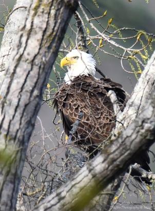 Male adult bald eagle (A/P) Brattleboro VT