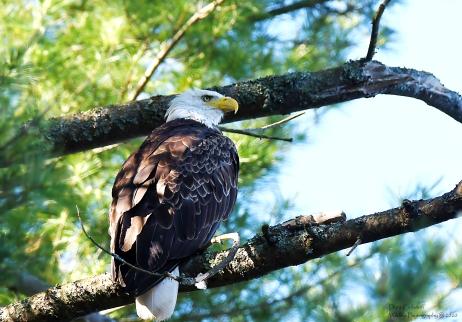 Adult bald eagle, Winhall VT