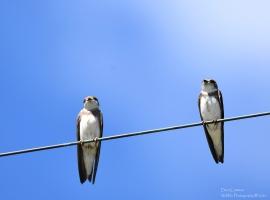 Bank Swallows, Brattleboro VT