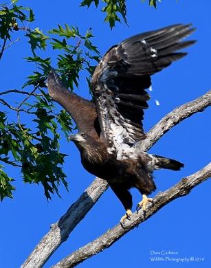 Juvenile bald eagle, Gill MA