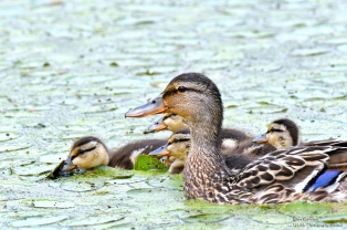 Black duck and her chicks, Westminster VT