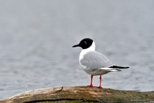Bonaparte gull, Hinsdale NH