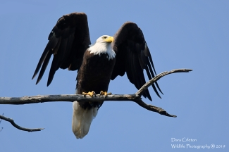 Male adult bald eagle (A/P) Chesterfield NH