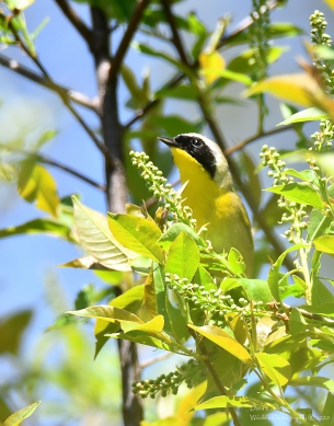 Common Yellowthroat warbler, Chesterfield NH