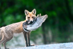 Adult female fox, West Chesterfield, NH