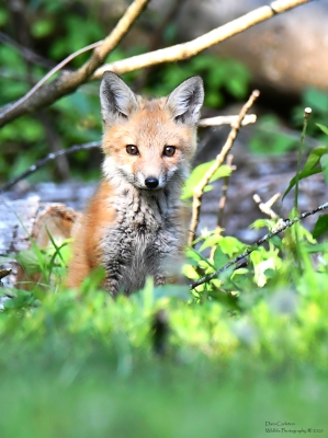 Immature fox, West Chesterfield, NH