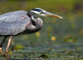 Great blue heron, Winhall VT