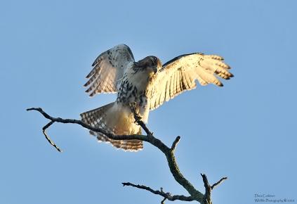 Hawk, Brattleboro VT