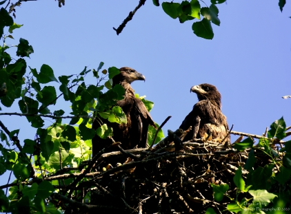 Juvenile bald eagles, Hinsdale NH