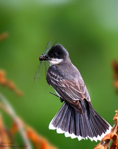 Eastern Kingbird, Brattleboro VT