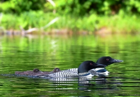 Loon family, Londonderry VT