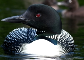 Adult loon, Londonderry VT