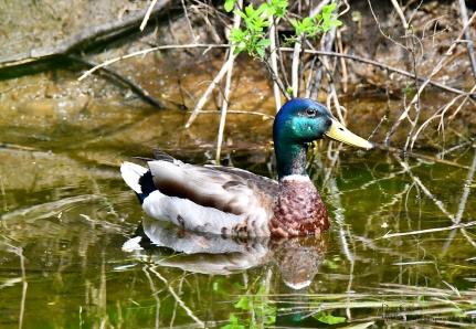 Male Mallard duck, Westminster VT