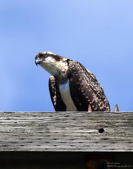 Juvenile osprey, Brattleboro VT