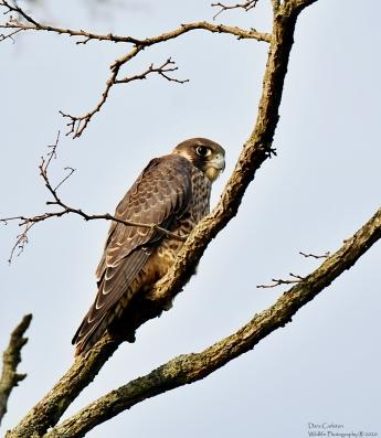 Juvenile peregrine falcon, Brattleboro VT