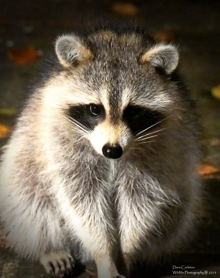 Raccoon, Brookline VT
