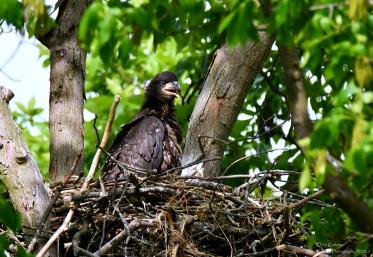 Juvenile bald eagle, Vernon VT
