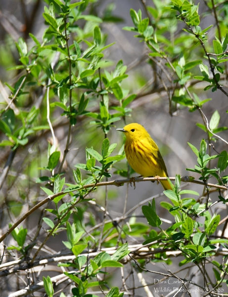 Yellow Warbler, Bellows Falls VT